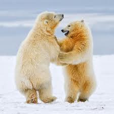 dancing pbears