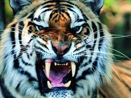 tothy tiger