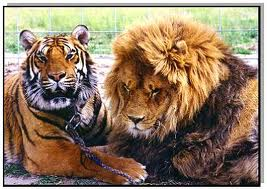 lions & tigers